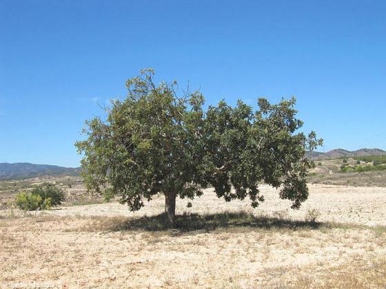 algarrobo-Corvera